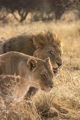 Just married (riccardo.pelizzola) Tags: justmarried sposi felini lion fear gattoni predator wildlife wild etoshanationalpark king safari africa honeymoon travel viaggi world amazing fotografia canonoeos photography