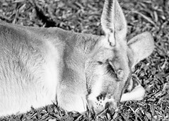 Red roo - black and white (Daniela Parra F.) Tags: canguro roo redroo redkangaroo animals marsupial mammal kangaroo macropod