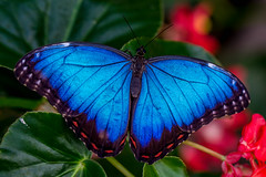 Blue Morpho Butterfly (Morpho peleides) (Eric Gofreed) Tags: butterfly insects morphopeleides bluemorphobutterfly butterfywonderland