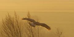 golden bird in flight (HHH Honey) Tags: winter sunset landscape golden flying minolta buzzard wiltshire salisburyplain goldenlight minolta100200mm sonya850