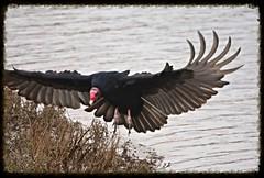 Turkey Vulture. (UNTIL THEN...) Tags: bird turkey vulture