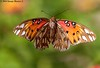 Gulf Fritillary - Bayou Courtableau, Louisiana (Image Hunter 1) Tags: green nature butterfly insect flying wings louisiana bokeh wildlife flight bayou swamp greenery marsh wingspan gulffritillary wingspread canoneos7d bayoucourtableau