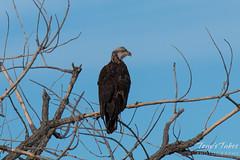 Juvenile Bald Eagle nearing adulthood