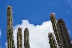 Cactus plants (Bonaire 2014)