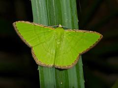 Geometrid Moth (Ornithospila cincta) (berniedup) Tags: moth sarawak malaysia borneo geometridae permai santubong ornithospilacincta taxonomy:binomial=ornithospilacincta