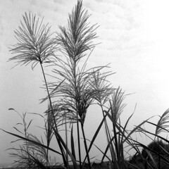 img789 (阿智) Tags: bw 120 film darkroom 黑白 kodak400tx fujiacros100 底片 暗房 沖片 rolleiflex35a