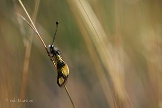 Owlfly (Libelloides macaronius, vlinderhaft)