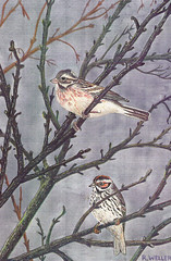 Rustic Bunting (Emberiza rustica) and Little Bunting (Emberiza pusilla), by Roy Weller