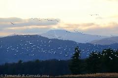 Dead Creek Snow Geese (6111) (fbc57) Tags: birds geese vermont addison