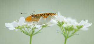 Spotted Fritillary (Melitaea didyma, tweekleurige parelmoervlinder)