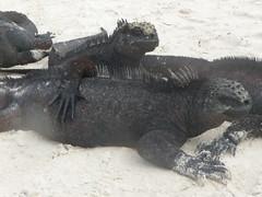 Need A Hug? (Miriam Christine) Tags: beach islands seaside sand hug marine iguana galpagos