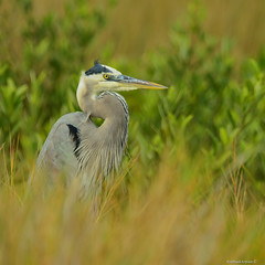 Great Blue Heron (2) (RKop) Tags: a77mk2 704000gssmsony handheld clearwater caladesiislandstatepark florida raphaelkopanphotography 70400gssmsony sony