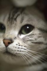 うな子 (unako) (mijabi) Tags: japan cat eos 50mm tokyo americanshorthair 14 olympus 日本 東京 猫 zuiko rembrandt 2yearsold ぬこ eos6d レンブラント ふぐふぐ