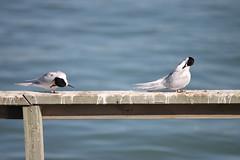 Terns on a jetty (shimmo23) Tags: ocean sea newzealand water birds bay jetty preening aves tern timaru seabirds whitefronted carolinebay