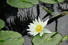 (ddsnet) Tags: travel plant flower japan waterlily sony cybershot  nippon   aquaticplants nihon  backpackers        rx10  osakafu       nymphaeatetragona     flowerinjapan