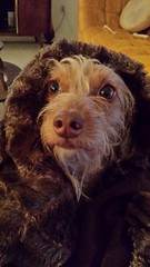 Beardo (tiffanycsteinke) Tags: dog mix dachshund doodle honey poodle dachsund wirehair dachshundpoodle doxipoo