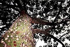 #oaxaca #mexico   #historia #cultura  #museo #fotoarte #fotografo #canon #canont3i #arte #tradicion #pochote #naturaleza #flora #arbol #oaxaca #mexico #historia #cultura  #museo #fotoarte #fotografo #canon #canont3i #arte #tradicion #pochote #naturaleza # (csmanzanarez) Tags: naturaleza canon mexico arbol flora arte oaxaca museo historia cultura fotografo tradicion espinas fotoarte pochote canont3i