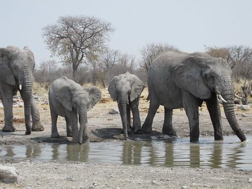 Eléphants, Etosha, Namibie