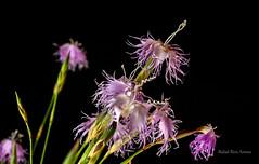 Clavellina de Doana (-Sambuco-) Tags: flores clavellina dianthusbroteroi