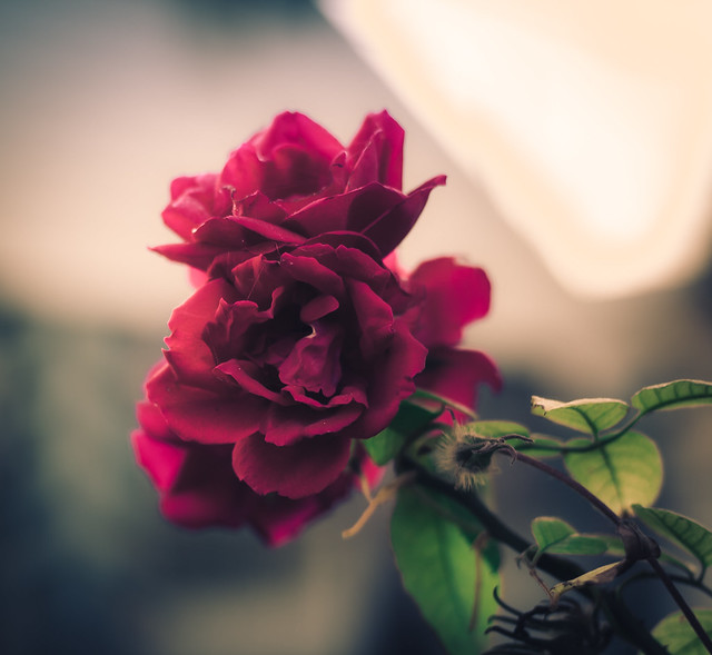 flower rose bokeh lfk lawrenceks
