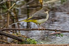 Grey Wagtail (warren hanratty) Tags: cotswoldwaterpark greywagtail passerine motacillacinerea shorncotereedbeds warrenhanrattyphotography