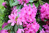 IMG_3057.JPG (robert.messinger) Tags: flowers rhodies