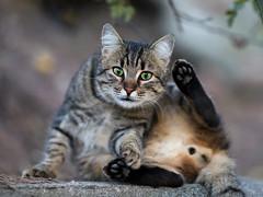 Street cat 130 (Yalitas) Tags: pet cats cat canon kat feline chat kitty greeneyes gato felino katze katzen kot kedi kass gatta greeneyed streetcat kotka  kocka  katte  katzchen kottur