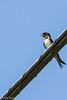 Rondine. Swallow. (omar.flumignan) Tags: bird canon eos 7d swallow uccello rondine ef100400f4556lisusm