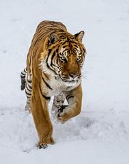 SVCC 2015-2016 Submissions-29 (Photobug915) Tags: montana tiger workshop siberian texaco jenniferwu animalsofmontana svcc1516 psashowcase2016