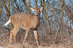 2016 White-tailed Deer 4 (DrLensCap) Tags: park winter chicago robert nature animal mammal illinois village north center il deer whitetailed