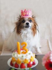 Happy birthday! (kodemari) Tags: birthday dog momo papillon