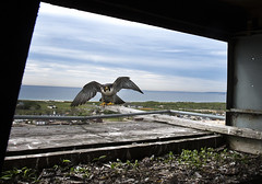 Marine Parkway Bridge Falcons (MTAPhotos) Tags: falcons verrazanonarrowsbridge verrazanonarrows throgsneckbridge peregrinefalcons marineparkwaygilhodgesmemorialbridge marineparkwaybridge bridgesandtunnels