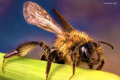 Honey Bee (SequentialMacro) Tags: studio francis wildlife bee honey prior