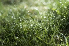 Barefoot (Tove Paqualin) Tags: green wet grass dof bokeh earth struktur save structure dew shallowdepthoffield bokehlicious fotosndag fs160508