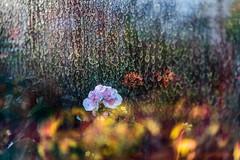 Spring In Winter Garden 2 (pni) Tags: light plant flower window suomi finland helsinki multipleexposure through helsingfors tripleexposure multiexposure skrubu pni talvipuutarha vintertrdgrden thewintergardens pekkanikrus