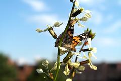 Distelfalter (DaWernRulez) Tags: butterfly hannover papillon schmetterling distelfalter