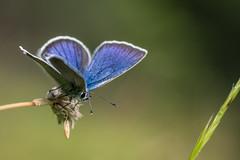Blue-Butterfly (DaOpfer) Tags: sun macro green nature grass butterfly hair licht eyes pentax bokeh natur augen makro sonne wank schmetterling k1 haare feeler lycaenidae smcpentaxdfa100mmf28macro bluling fhler