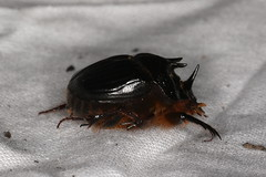 Onthophagus ferox (dhobern) Tags: may australia wa coleoptera 2016 ferox scarabaeidae scarabaeinae onthophagus boyaginrock
