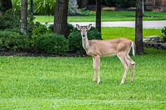 339:365 Magnolia Bud (Woodlands Photog) Tags: wild nature animal yard suburban deer