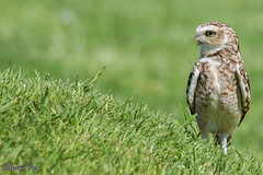 Burrowing Owl (parry101) Tags: bird nature birds animal animals for centre international owl prey owls burrowing icbp