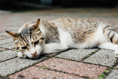 WIL_7794 (WillyYang) Tags: street cat 50mm kitten taiwan streetphotography taipei lazycat 50mmf12 50l 50mmf12l 5d3 5dmark3 canon5d3 canon5dmark3