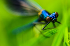 Banded demoiselle (Ben Duursma) Tags: black detail macro green field insect photography flying spring wings eyes nikon focus ben dragonfly wing may sigma sharp demoiselle damselfly depth banded tipped youngphotographers duursma d7000
