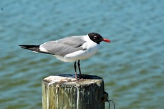 Laughing Gull, Texas, Padre Island National Seashore (EC Leatherberry) Tags: bird texas gull nationalparkservice nationalseashore larusatricilla laughinggull padreislandnationalseashore nuecescounty