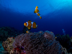 "similan-diving-safaris.com:false clown anemonefish.jpg"" alt=""False Clown Anemonefish"" :> (similandivingsafaris) Tags: ocean fish macro water coral thailand aqua scuba diving scubadiving corals khaolak andamansea underwaterphotography liveaboard similanislands kohbon kohtachai dolphinqueen worldfamousrichelieurock similanexplorer"