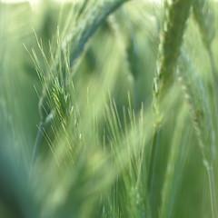 rural poetry (vertblu) Tags: summer green monochrome barley corn cornfield dof teal grain cereal vert crop greens grn summerevening lightgreen summereve softtones hellgrn 500x500 barleyfield bsquare softcolours softgreen simplenature grainfields barleybeard barleyear vertblu