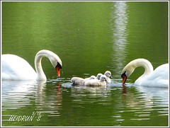 Lesson I - Swimming (Heidrun`s Bork&Blatt) Tags: lake green water swimming spring swan first clear learning swanfamily firstlessons