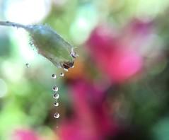 New web design (jilllian2) Tags: flowers macro spiderweb waterdrops