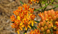 What's In A Name? (ChicaD58) Tags: spring colorful milkweed butterflyweed asclepiastuberosa dausettrailsnaturecenter dscf3685a lookingforbutterfles