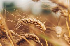 Ears Of Ripe Wheat (SplitShire) Tags: plant field rural corn farmers farm wheat elevator grain harvest straw stack rye ear land spine hay flour bundle current chaff placer husbandry ripening ripe stubble threshing sprinkle harvesting futures arable