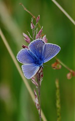 COMMON BLUE (Bradders62) Tags: blue southwest nature butterfly wildlife butterflies sigma insects somerset commonblue canoneos7d hardingtonmoor